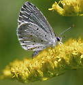 ID request, Azure Butterfly - Celastrina