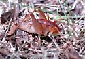 cricket 1 - unident - Ceuthophilus