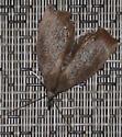 Img 8802 Weird Moth - Goniapteryx servia