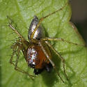 Spider sp, silvery pointed abdomen - Oxyopes salticus