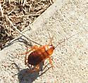 bug - Periplaneta americana