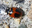Mountain Ladybird - Hippodamia quinquesignata