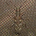Cerambycidae 2011.06.28.5307 - Monochamus carolinensis