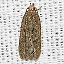 Unknown Gelechiidae - Glyphidocera