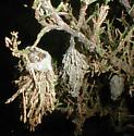 Evergreen Bagworm Moth - Thyridopteryx ephemeraeformis