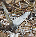 western white - Pontia protodice