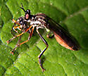 Robber with Ichneumon - Dioctria hyalipennis - female