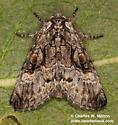 Charadra franclemonti - female