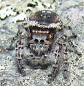 jumping spider - Phidippus toro