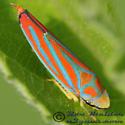 Red-banded Leafhopper - Graphocephala