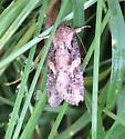 moth sp? - Spodoptera