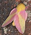 Moth to porch light - Dryocampa rubicunda