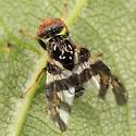 Fruit Fly - Procecidochares atra - male