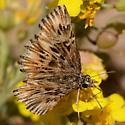 duskywing? - Celotes nessus