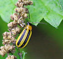 Striped Cucumber Beetle for May in Missouri - Acalymma vittatum