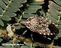Brochymena or Parabrochymena? - Apateticus lineolatus