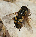 insect01 140422 - Helophilus fasciatus - male