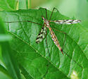 Insect with Black/White/Clear Wings - Tipula trivittata