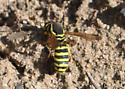 Wasp - Pseudomasaris - female