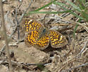 Butterfly - Phyciodes graphica