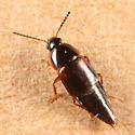 Tachinus fumipennis? - Tachinus fumipennis