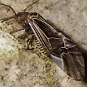 Bark Louse - Cerastipsocus venosus
