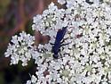 Aporus wasp - Aporus