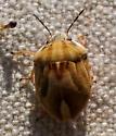 Homaemus female? - Homaemus - female