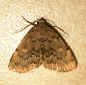 Common Idia - Idia aemula