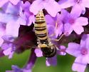 Pollinating Fly ID Request - Sphaerophoria contigua