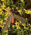 Flat-top Goldenrod nectarer - Dahana atripennis - female