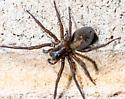 Spider - Amaurobius ferox