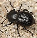 teneb - Microschatia championi