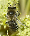 Bee in Cow Parsley or GIant Angelica - Colletes