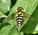 Syrphid with pointed abdomen - Syrphus opinator - female