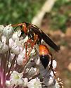 wasp unknown - Sphex ichneumoneus