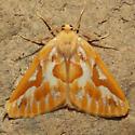 6864 Northern Pine Looper - Caripeta piniata - male