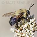Big Bee - Bombus griseocollis