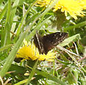 butterfly, maybe duskywing - Erynnis juvenalis