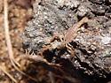 Second instar P. redelli - Pseudouroctonus reddelli