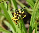 Glycobius speciosus