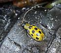 Diabrotica undecimpunctata - Spotted Cucumber Beetle? - Diabrotica undecimpunctata
