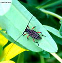 Flat-faced longhorn beetle - Hyperplatys aspersa