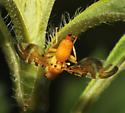 Strauzia noctipennis - female