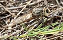 P duryi - Proctacanthus duryi - male