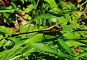 Dragonfly  - Dromogomphus spinosus - female