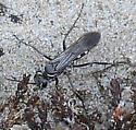 Spider Wasp Episyron quinquenotatus - Episyron quinquenotatus