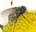 Fly - ? Tachnid ?