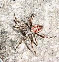 Unknown spider  - Araneus diadematus