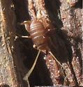 Cricket? - Myrmecophilus pergandei